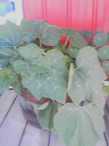 Planter with Zuchinni